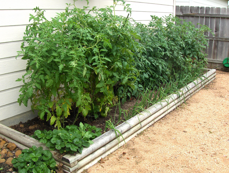 This is my tomato garden last year the 1st week of April. I have limited space, so I really fill it up. There are 8 tomato plants in a 12 ft bed. I was rewarded with a huge Harvest:-)