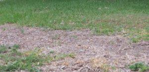 Nitrogen Burned Lawn