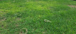 Thinning, Yellowing from shade and weed and feed application
