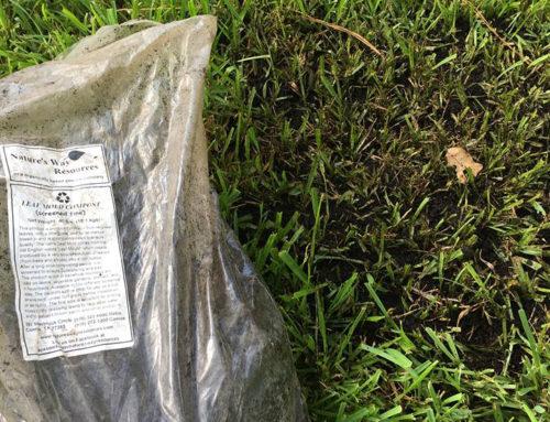 Sod Webworm Lawn Recovery