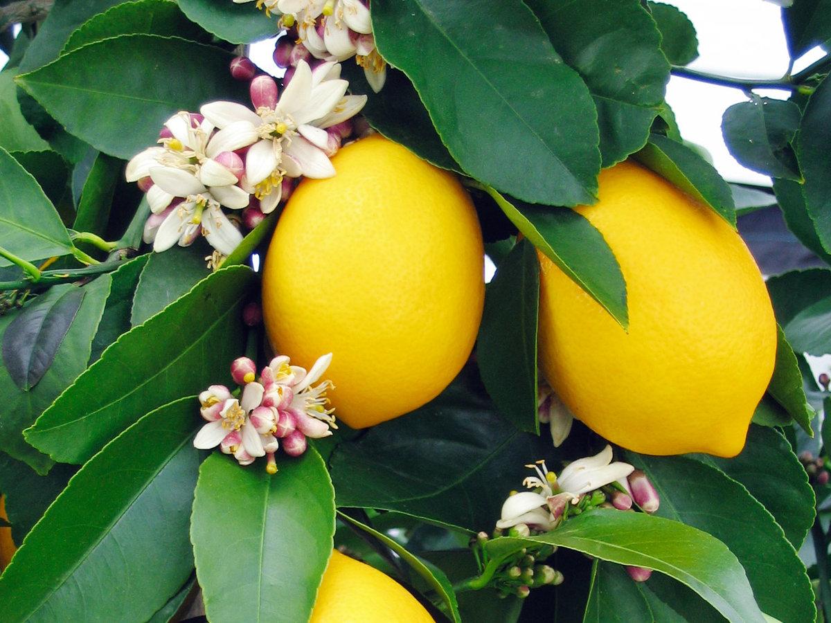 Citrus success plants for all seasons since 1973 for Lemon plant images