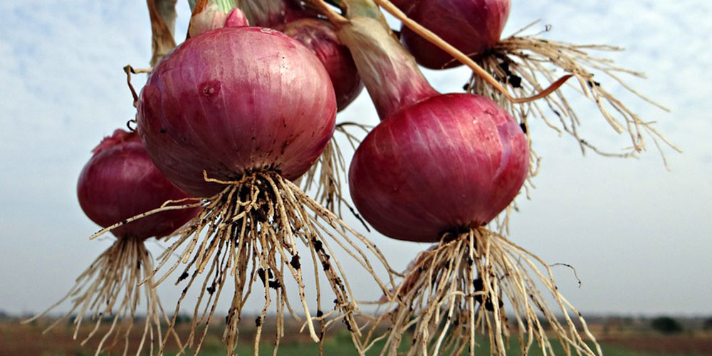 red onions with roots