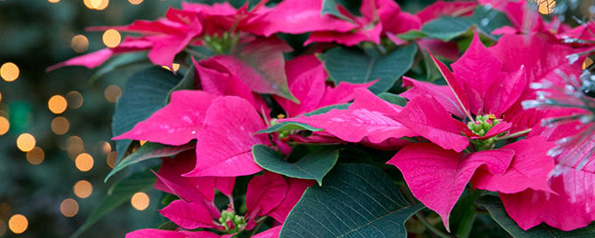 Pink poinsettias and christmas lights
