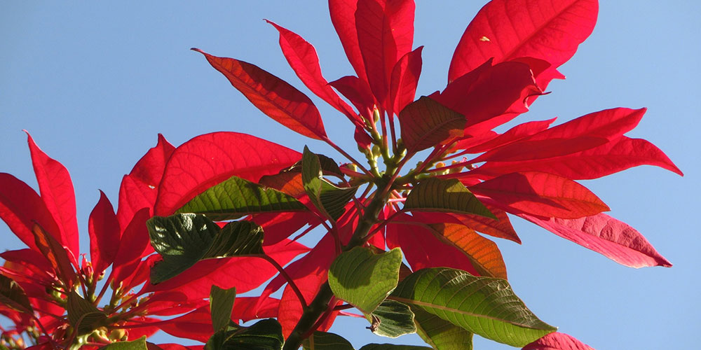 Poinsettia plant outside growing naturally