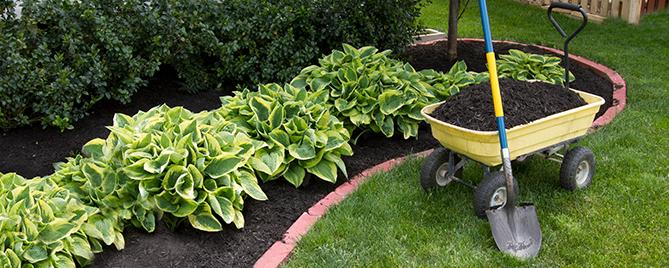 Wide Brim Hosta Plants