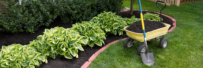 Wide Brim Hosta Plants