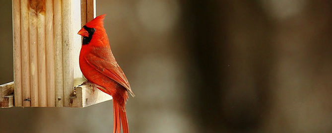 Cardinal on a Birdhouse