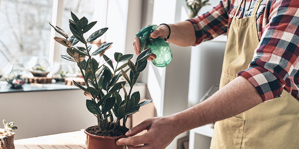 watering a zz plant