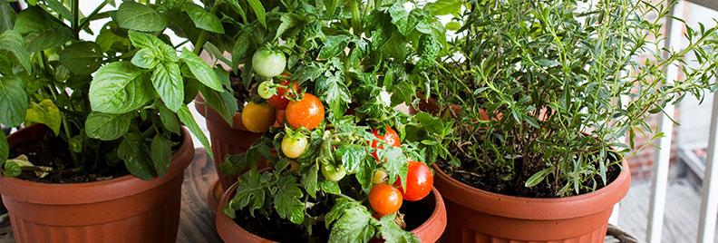 cherry tomato garden