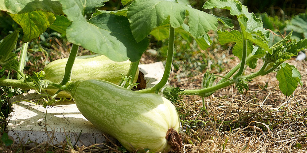 growing garden squash outdoors
