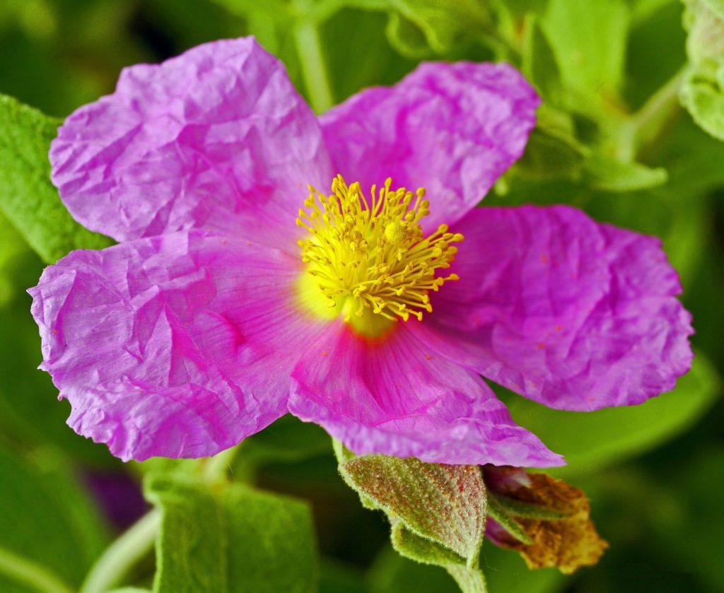 rockrose spring perennial