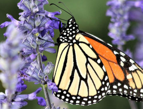 Butterfly Gardening Simplified