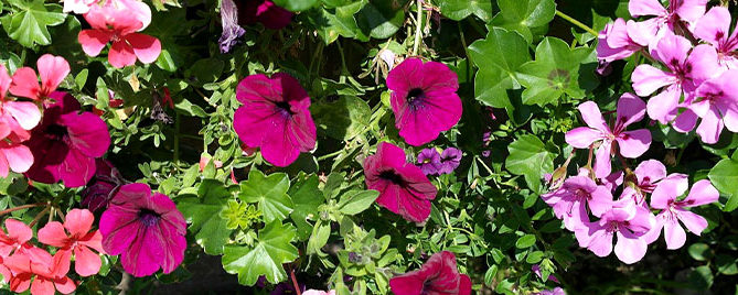 container compatibility feature petunia and geranium