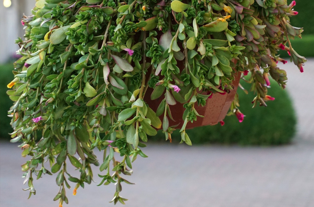 trailing hanging container vine compatibility