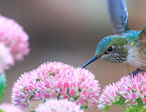 Hummingbird Gardening