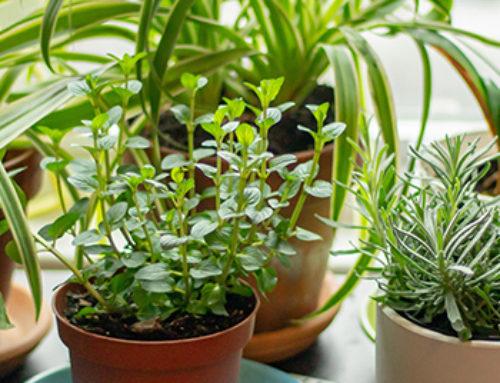 Herb Gardening Basics