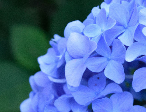 Growing Hydrangeas in Texas