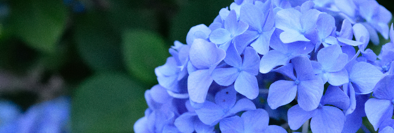 hydrangeas plants for all seasons texas
