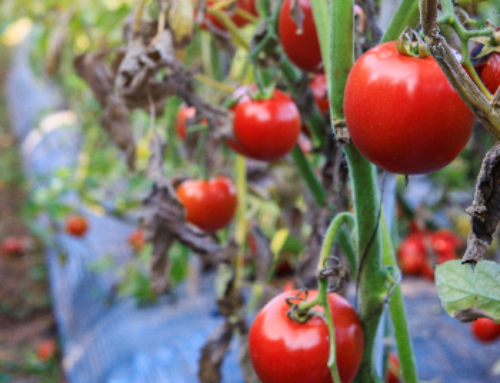 Everything You Need To Start Planting Fall Tomatoes