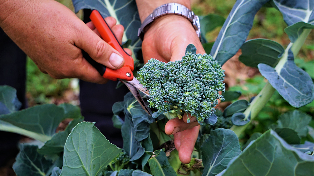 the-best-fall-garden-plants-for-southern-texas-broccoli