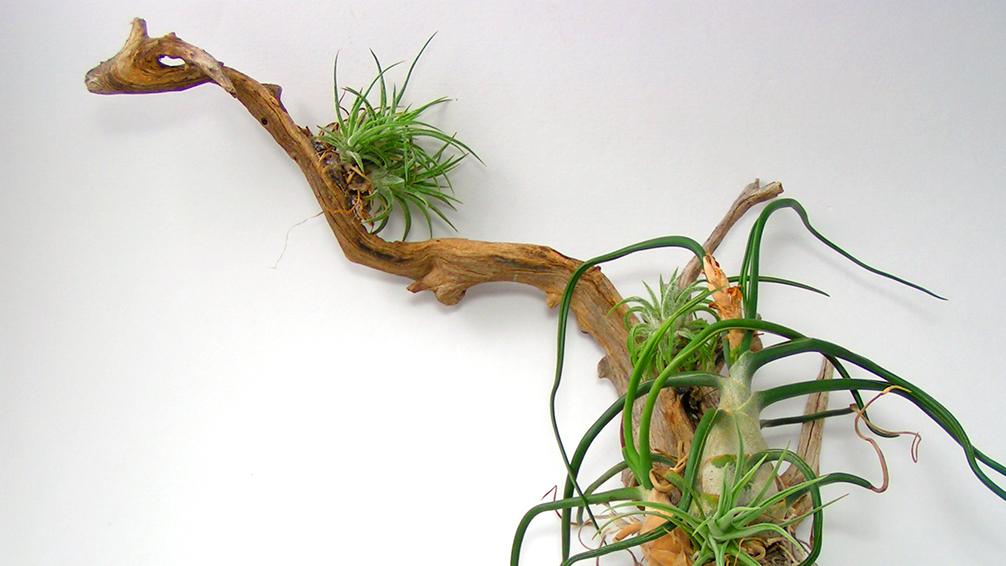 how-to-decorate-with-air-plants-driftwood-planter