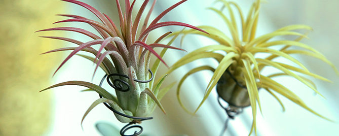how-to-decorate-with-air-plants-feature