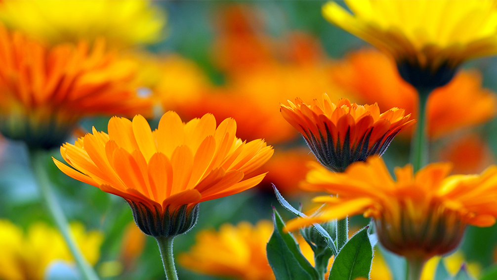the-most-beautiful-winter-plants-of-houston-calendula-orange-flower