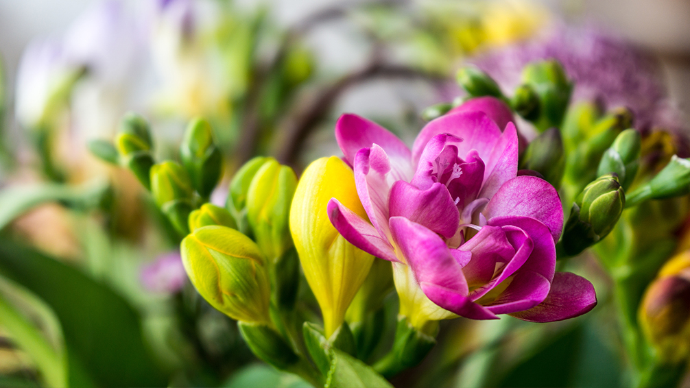 8-bulbs-to-plant-now-spring-blooming-freesia
