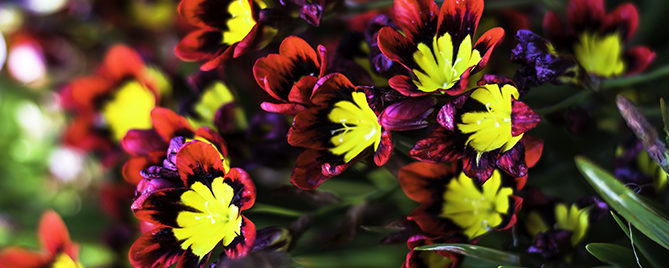 8-bulbs-to-plant-now-spring-blooming-header-sparaxis