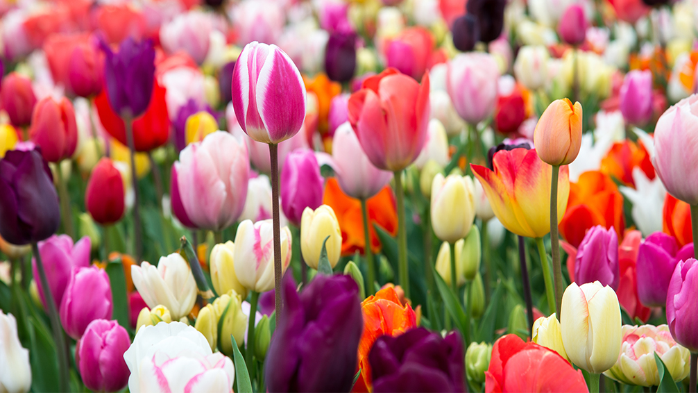 8-bulbs-to-plant-now-spring-blooming-tulips