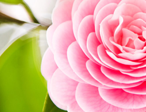 Camellias: How To Grow These Fabulous Flowers