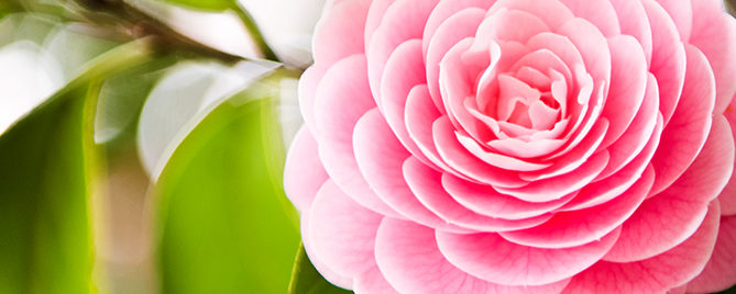 camellias-how-to-grow-these-fabulous-flowers-pink-header