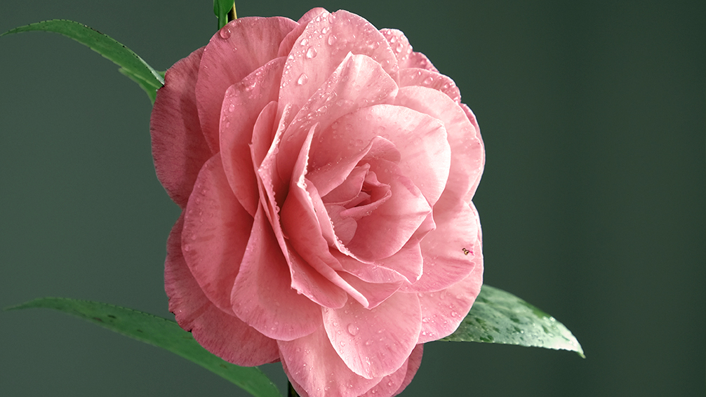camellias-how-to-grow-these-fabulous-flowers-pink-indoors-water-drops