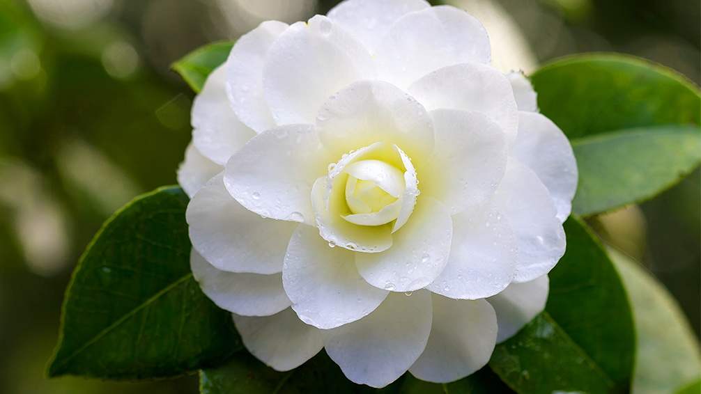 camellias-how-to-grow-these-fabulous-flowers-white-outdoors-macro