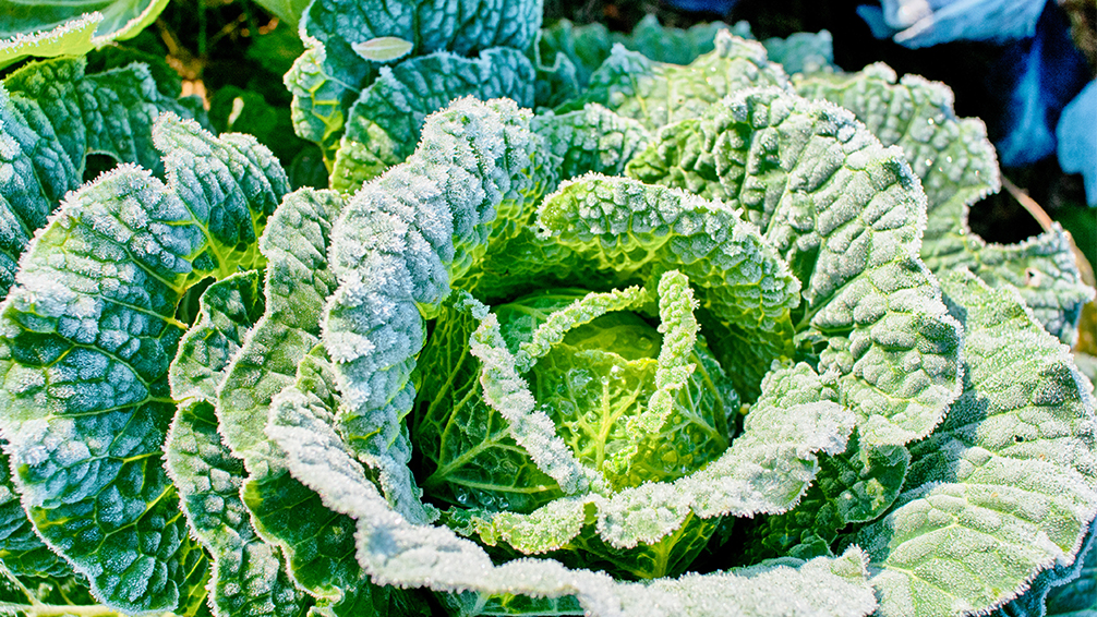 covering-plants-for-winter-cabbage-with-frost