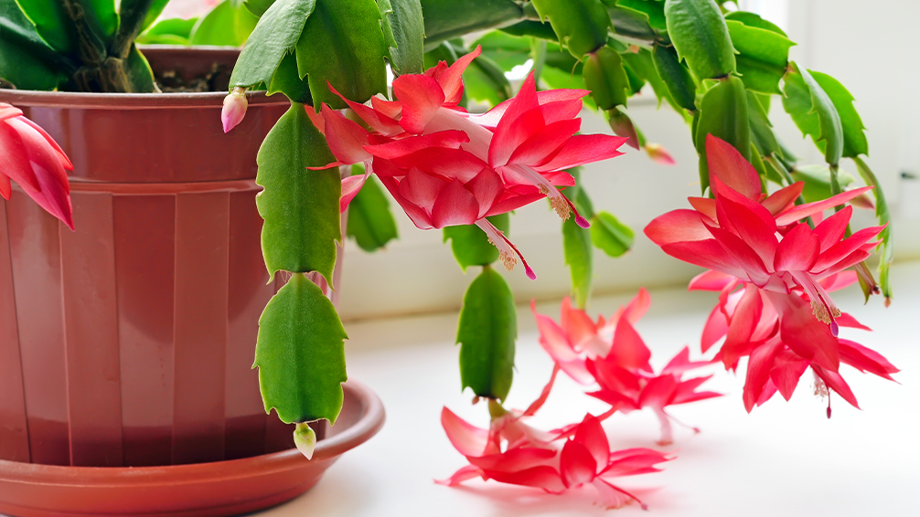 holiday-favorites-christmas-cactus-poinsettias-and-more-christmas-cactus-in-pot