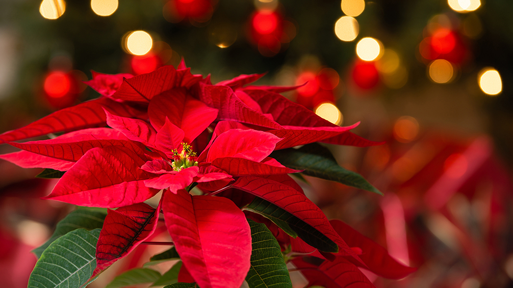 holiday-favorites-christmas-cactus-poinsettias-poinsettia-with-christmas-lights-bokeh