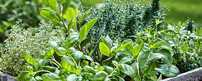 7-delicious-herbs-you-can-plant-in-the-shade-various-herbs-in-pots-header