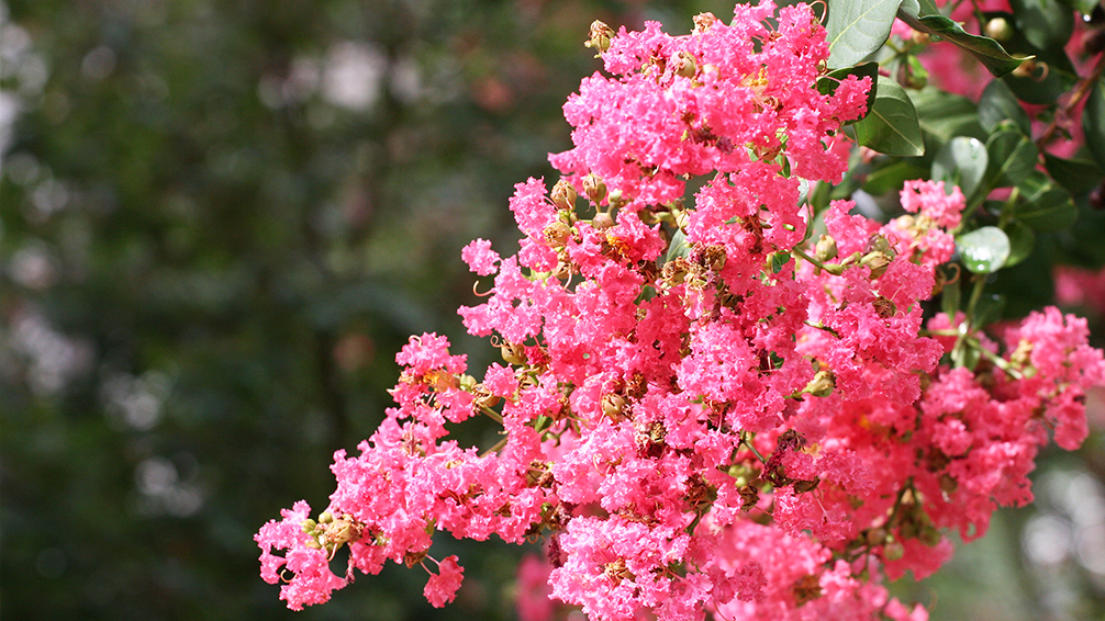 crape-myrtle-pruning-crape-myrtle-blooms-up-close