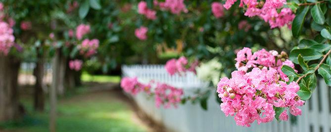 crape-myrtle-pruning-header-white-picket-fence