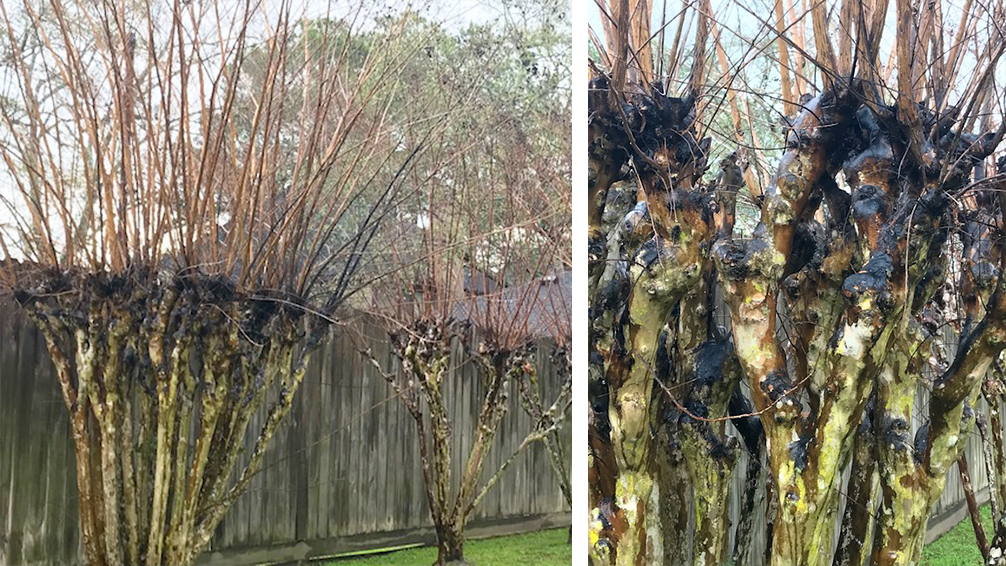 crape-myrtle-pruning-overpruned-bad-crape-myrtles