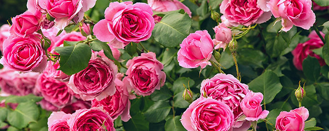how-to-care-for-roses-in-houston-pink-roses-header