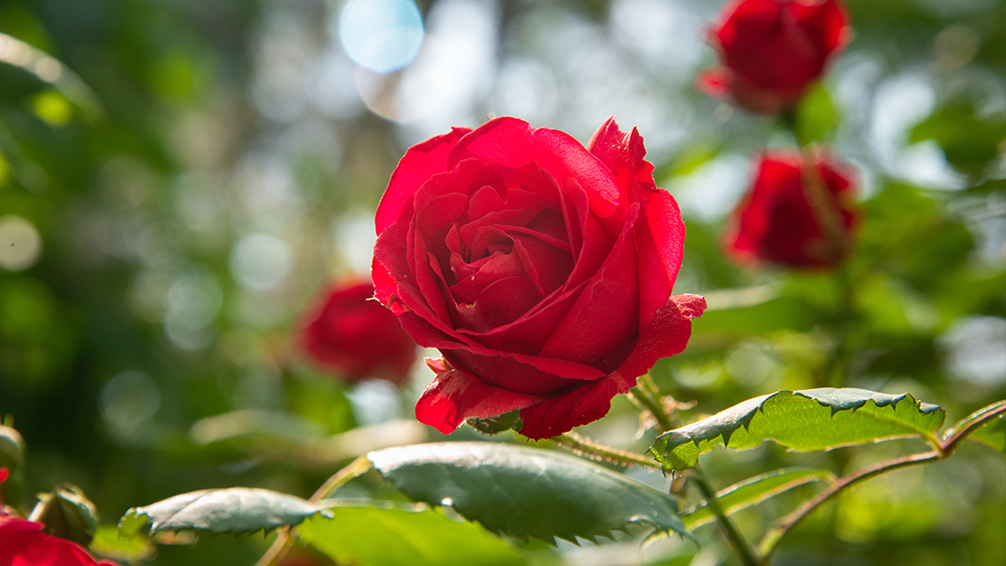 how-to-care-for-roses-in-houston-sunlight-water