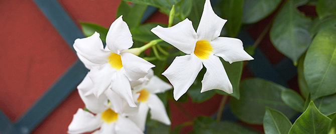the-best-climbing-plants-for-garden-screens-mandevilla-header