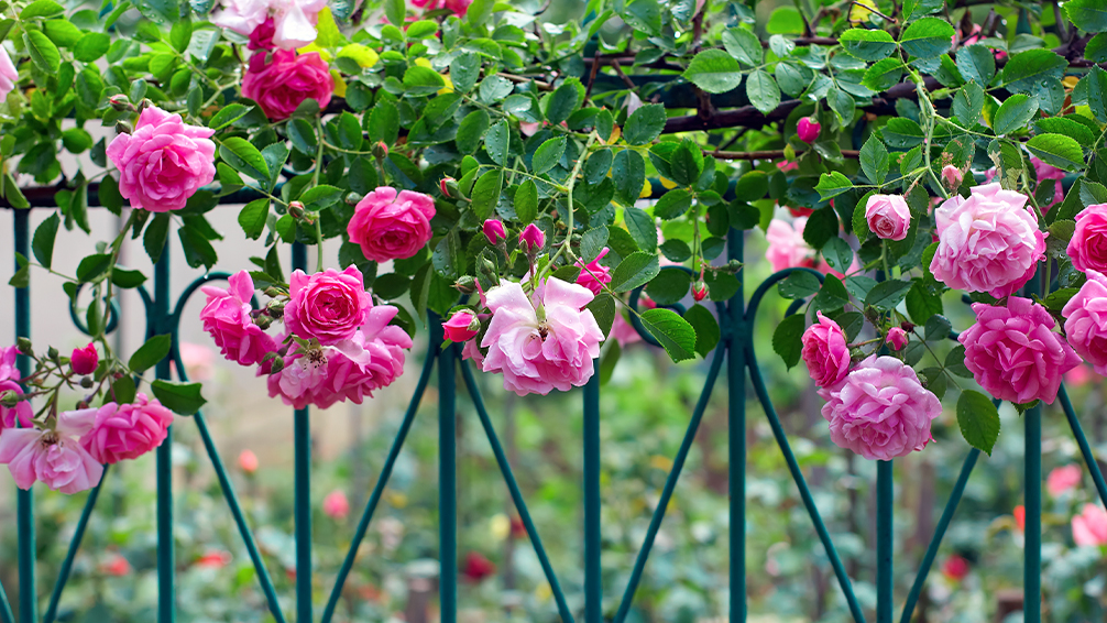 the-best-climbing-plants-for-garden-screens-pink-roses