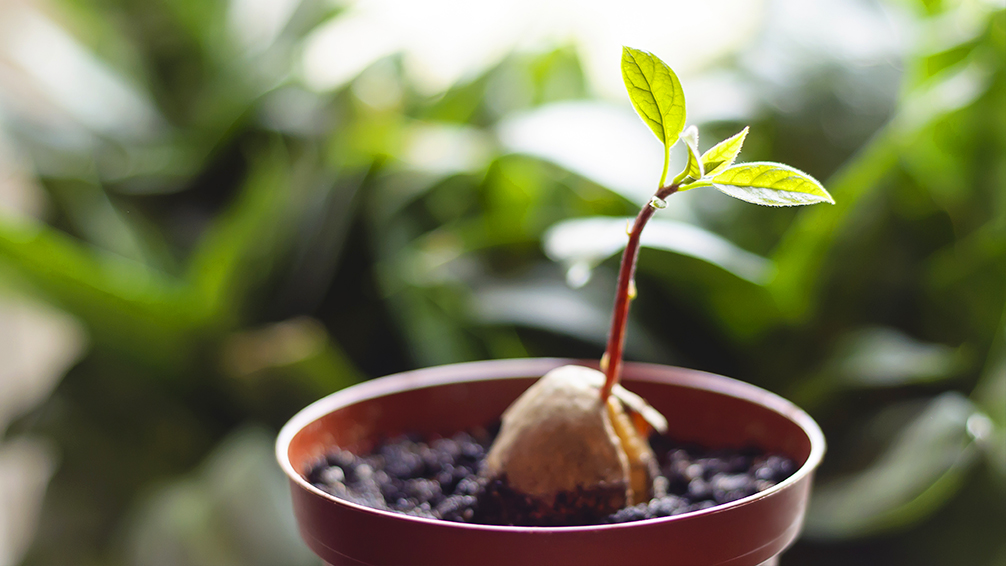 how-to-grow-avocados-seedling