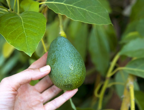 Guac This Way: How To Grow Avocados In Houston
