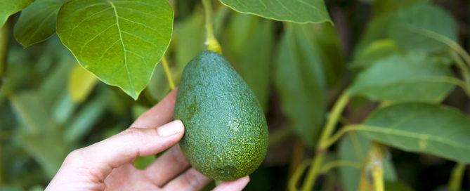 how-to-grow-avocados-woman-picking-avocado