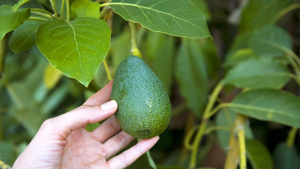how-to-grow-avocados-woman-picking-avocado