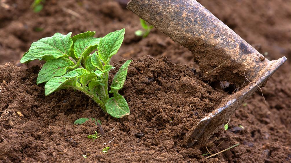 ways-to-grow-potatoes-hilling-method